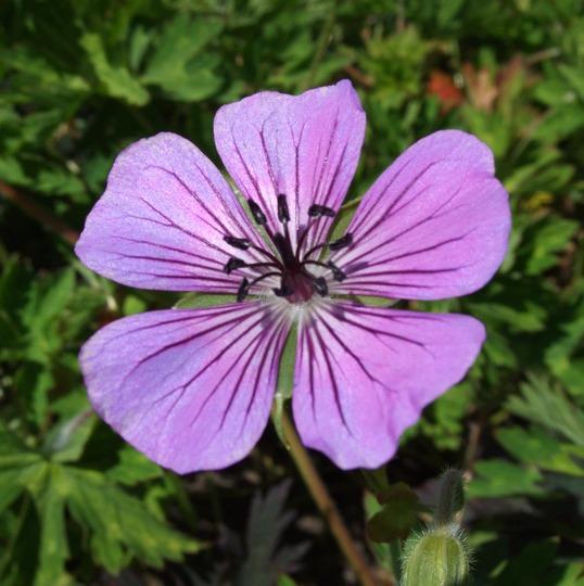 Geranium 'Pink Penny' (Geranium 'Pink Penny')