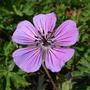Geranium_pink_penny_a
