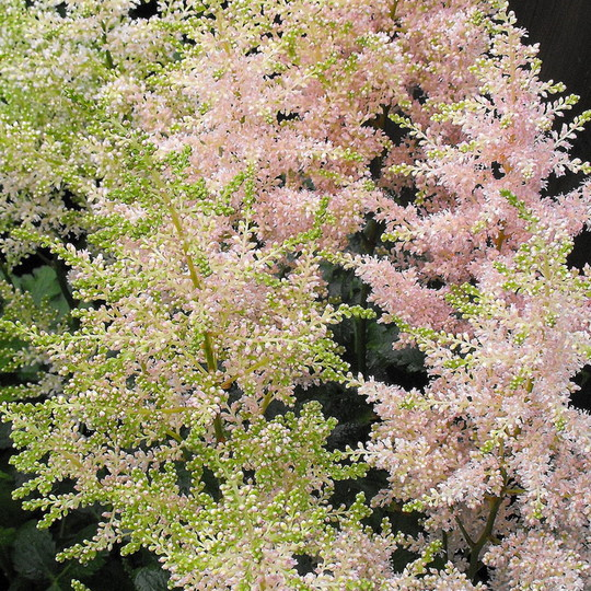 Pale Pink Astilbe (Astilbe simplicifolia)