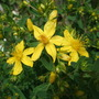 Hypericum cerastioides (Hypericum cerastioides)
