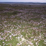 Drifts of Armeria maritima along the causeway to Lindisfarne island, Northumberland, England.