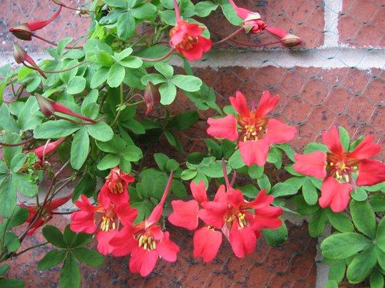 tropaeolum speciosum (Tropaeolum speciosum (Flame flower))