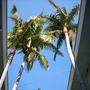Archontophoenix cunninghamiana - King Palm (Archontophoenix cunninghamiana - King Palm)