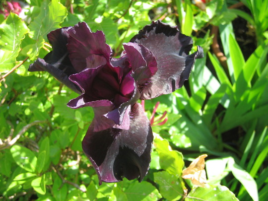 Black Iris in my garden~well nearly black!