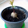 I am trying to grow avocado.