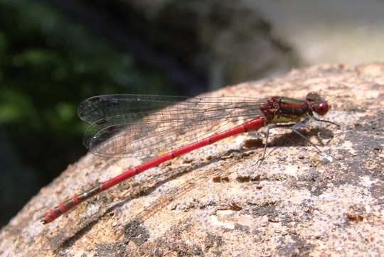Large Red Damselfly-Pyrrhosoma nymphula 15-06-09
