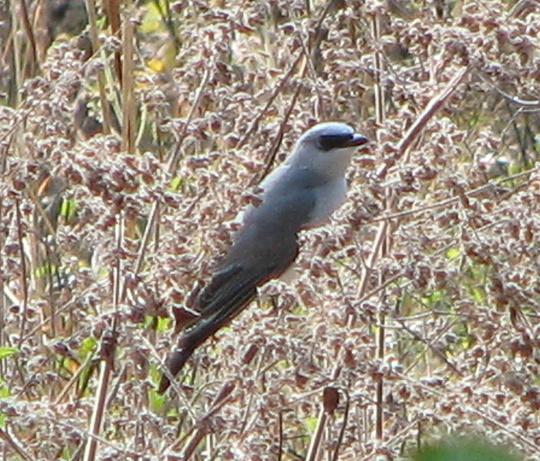 White-bellied Cuckoo-shrike among the wild grasses.