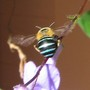Our native bee - The Blue Banded Bee  (Amegilla pulchra)