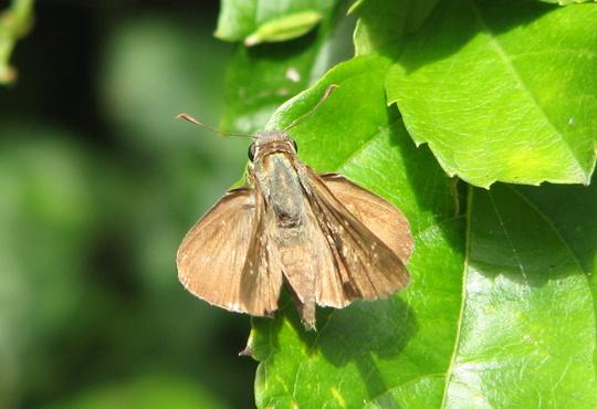 Garden visitor - moth