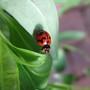 Garden visitor - ladybird