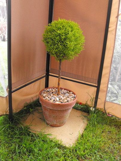 Ball Conifer Inside Gazebo