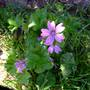 Geranium, which one I don't know