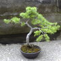Larch About 8 Years Old In Training (Larix decidua (Aris))
