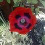 Ladybird_poppy_seeds_which_i_got_from_gardeners_world_live