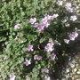 Alpines In My Rockery (Erodium reichardii)
