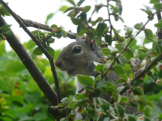 Peek-a-boo squirrel!