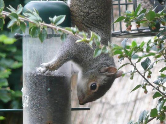 Upside down squirrel!