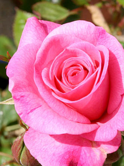 Miniature Pink Rose