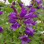 Campanula latifolia (Campanula latifolia (Bellflower))
