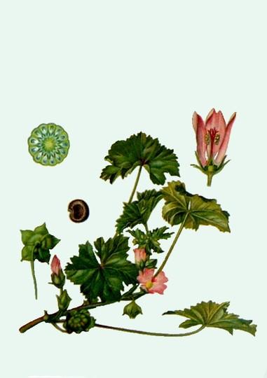 Malva neglecta (common mallow) (Malva neglecta)