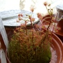 another sundew (drosera madagascariensis)