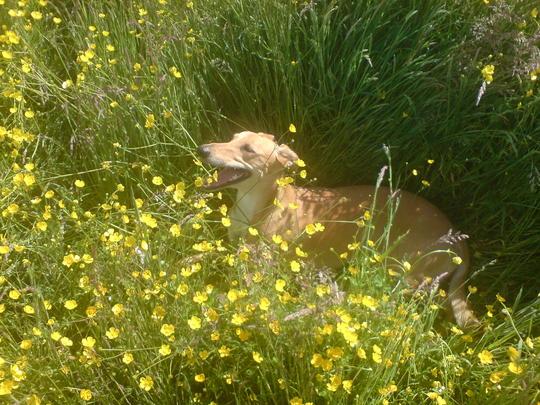 Pip enjoying her walk in the meadow