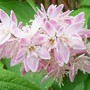 Deutzia 'Strawberry fields' - close up (Deutzia x hybrida 'Strawberry Fields')