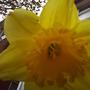 Daffodil_1_022