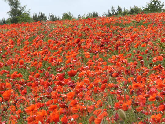 Norfolk      Poppy Land   3