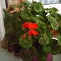 geraniums_over_winter_1_013.jpg