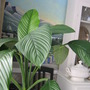 Spathiphyllum