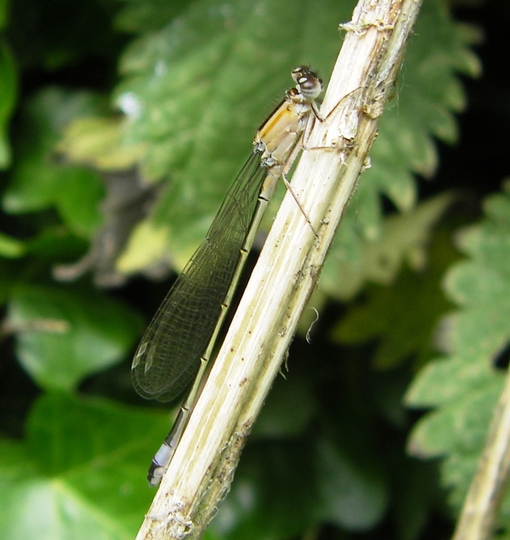 Another Damselfly 17-06-09