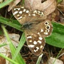 Speckled Wood-Parage aegeria 17-06-09