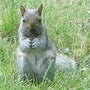Squirrel_at_work_17_06_09_2