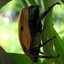 Pelidnota punctata  Grapevine Beetle