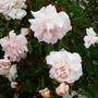 Button flowered Rambling rose