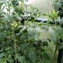 Tomato plants 09