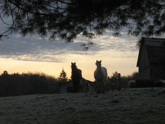Farm Horses...early morning