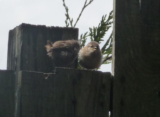 Fledgling wrens.