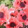 Papaver orientale 'Pink Ruffles'  (Papaver orientale 'Pink Ruffles')