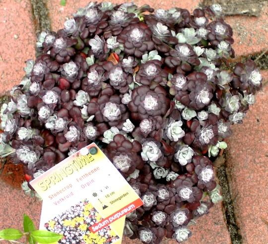Sedum purpureum planted in rockery today. (Sedum spectabile (Ice plant))