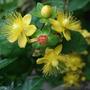 Hypericum androsaemum (Hypericum androsaemum (Androsemo))