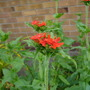 Lychnis_chalcedonica_17.6.9_a