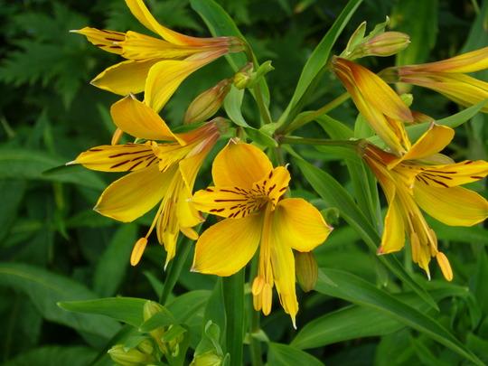 Alstroemeria aurea (Alstroemeria aurea (Peruvian lily))