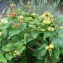 Hypericum androsaemum (Hypericum androsaemum)