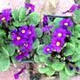 Small purple primulas (Primula variabilis)