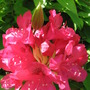 rhododendron (rhododendron)