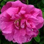 Rugosa rose 'Hansa' (Rosa Rugosa 'Hansa')