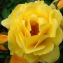 Nameless yellow rose