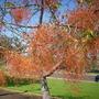Brachychiton acerifolia - Illawarra Flame Tree (Brachychiton acerifolia Illawarra flame tree)